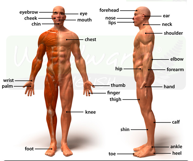 Parts of Body for School Going Students in English or Hindi with Pics