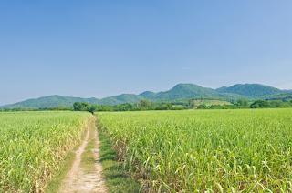 sugarcane feilds