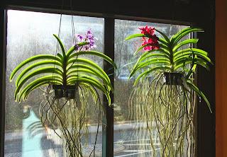 canastos para cultivo de orquideas vanda