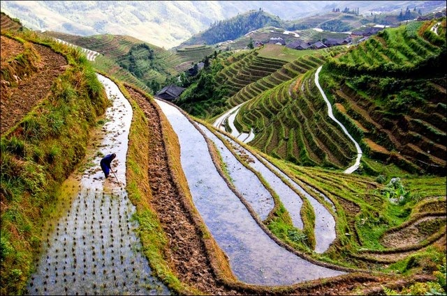 Rice fields, China