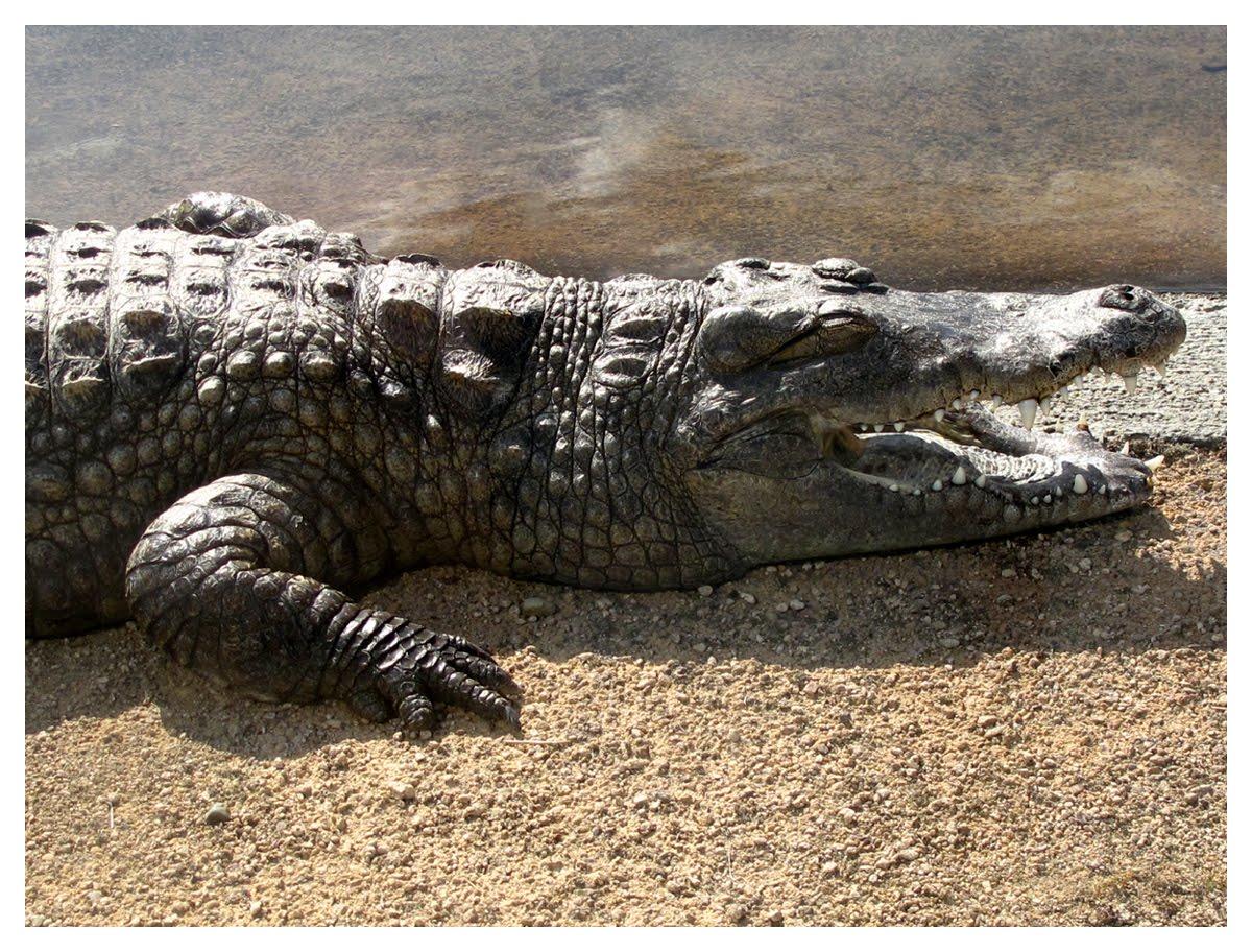 Jardin de marguerite crocodile du nil crocodylus niloticus for Jardin du nil red wine