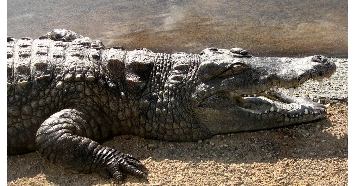 Jardin de marguerite crocodile du nil crocodylus niloticus for Jardin du nil white wine