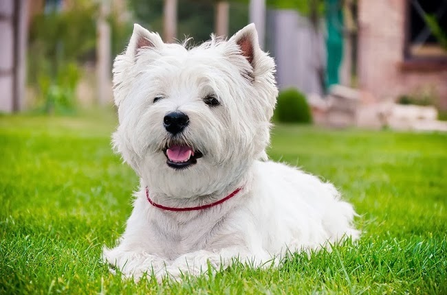 Psy rasy West Highland White Terrier