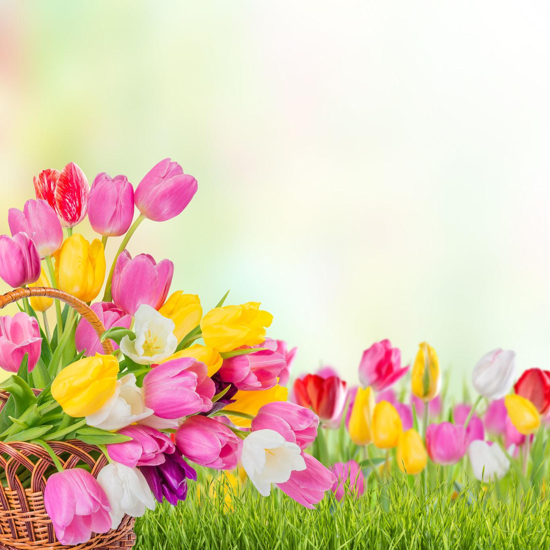 ANIMO,POR FAVOR VOTEMOS,UN ÚLTIMO ESFUERZO!!! Tulipanes%2Bde%2Bcolores