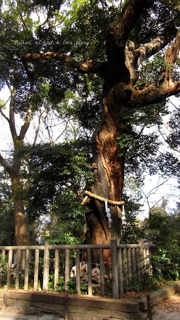 Sacred tree at Shimogamo shrine