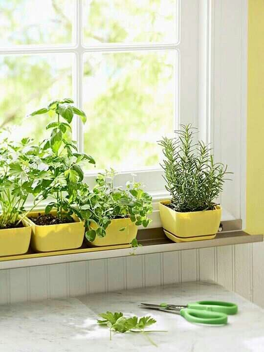 fresh herb in kitchen window in yellow pots