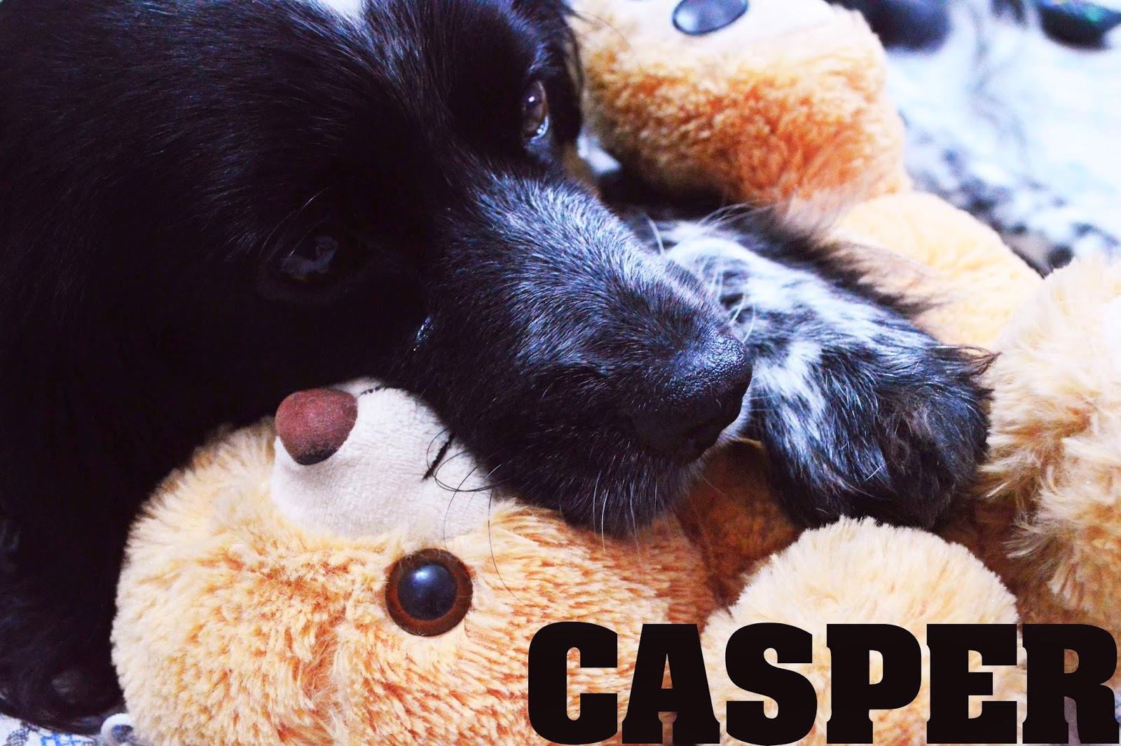 Casper, Dog, Spaniel