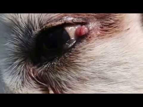 Rilevamento verruche sul vostro animale domestico