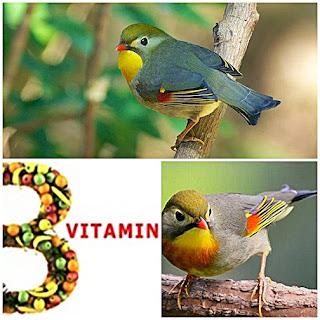 Manfaat Vitamin B untuk Burung Ocehan