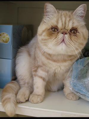 Gambar Kucing Exotic