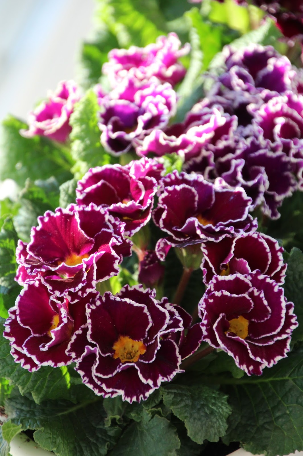 Jordviva Primula vulgaris 'Dakota Violet'