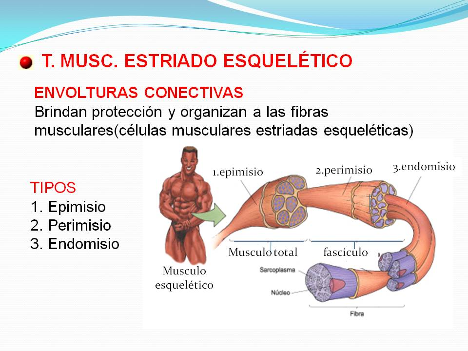 Biologìa: TEJIDO MUSCULAR