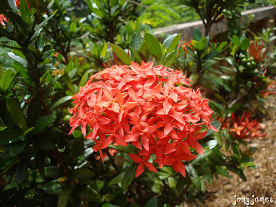 Thechi or Chetthy Flower