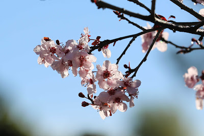 Spring Backyard Photography in Los Angeles - Cherry Blossoms