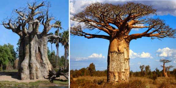 The exotic Baobab tree also called the Upsidedown tree can stand over one hundred feet in height and be as much as fifty feet in diameter ... & NephiCode: Jaredite Direction of Travel u2013 Part XII u2013 The Remarkable ...