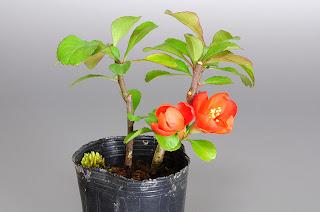 クサボケB(草木瓜 ミニ盆栽素材)Chaenomeles japonica bonsai