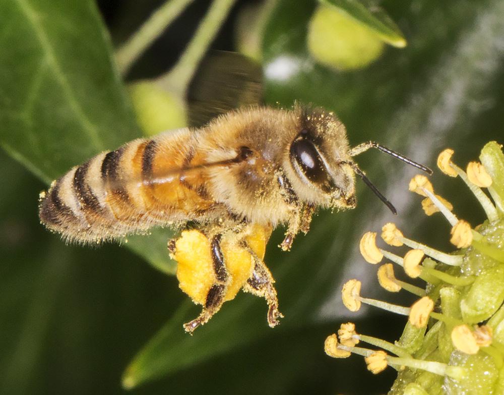 Honey Bee, Apis mellifera, in flight.  Gates Green Road, Coney Hall, 21 September 2014.