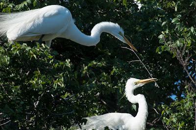 Nesting Great Egrets, UT Southwestern Medical Center