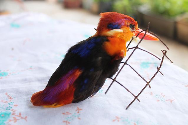 burungrajauda