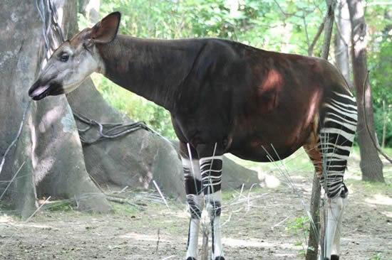 THE OKAPI | Fun Animals Wiki, Videos, Pictures, Stories