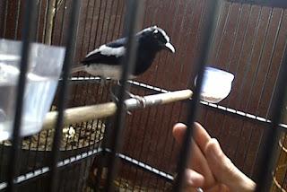 Menjinakkan Burung Kacer