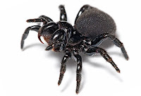 Araña venenosa