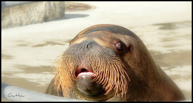Morse - Walrus by Gattou - Lucie Provencher from flickr (CC-SA)