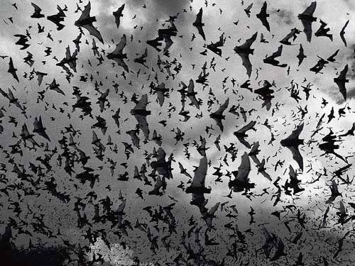 foto antigua de miles de murcielagos volando