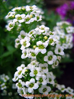 Sweet Alyssum flower - closeup photo