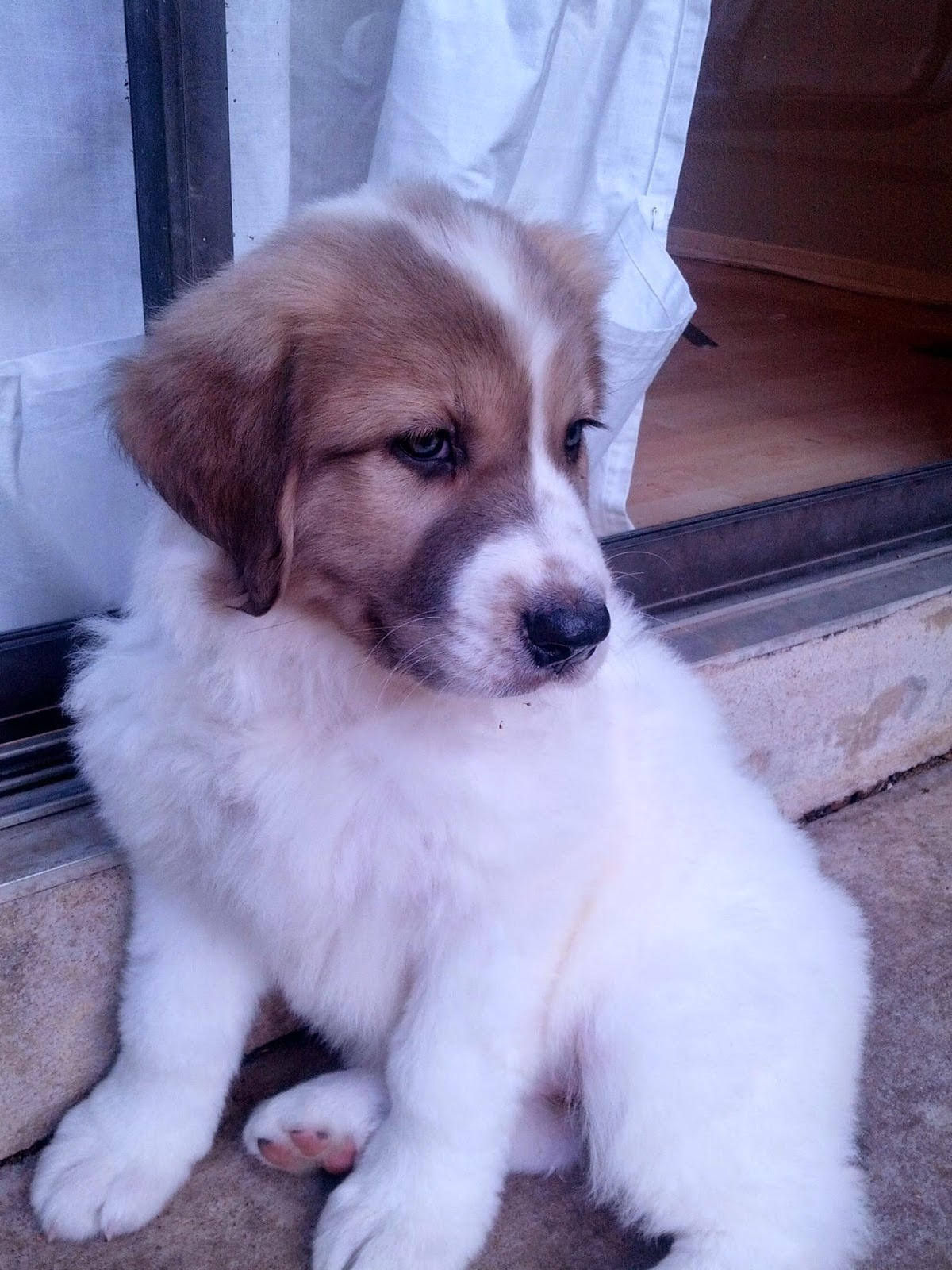 3 Top Cute  Pyrenees Puppies