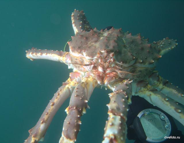 Камчатский краб в руках. Баренцево море. фото