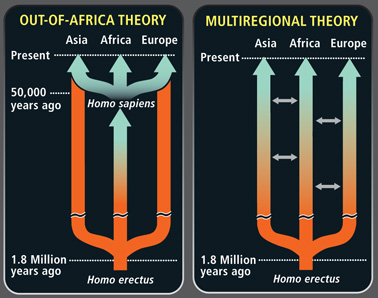 the origins of homo sapiens multiregional theory vs out of africa theory Homo sapiens (latin: wise man  older versions of homo sapiens evolved only in africa,  that of h sapiens out of homo erectus roughly 18 to 02 million years.
