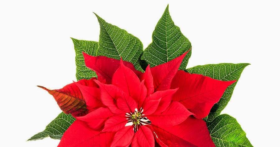 Plantas de regalo planta de navidad - Remedios contra la mala suerte ...