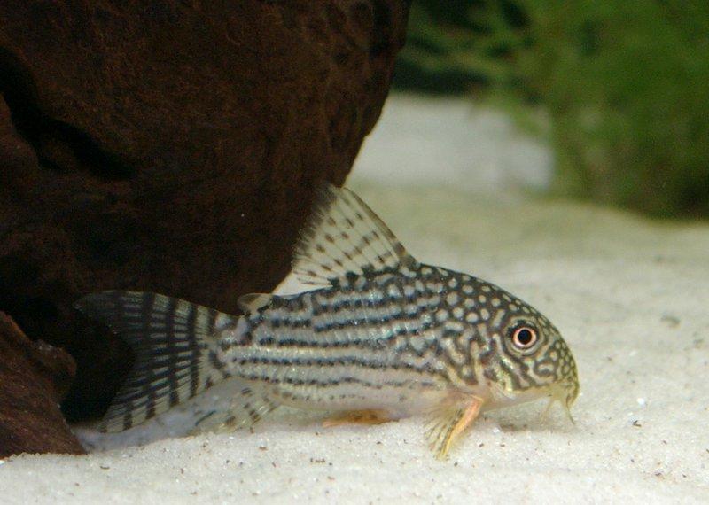 Fish Pictures: Sterbas corydoras - Corydoras sterbai