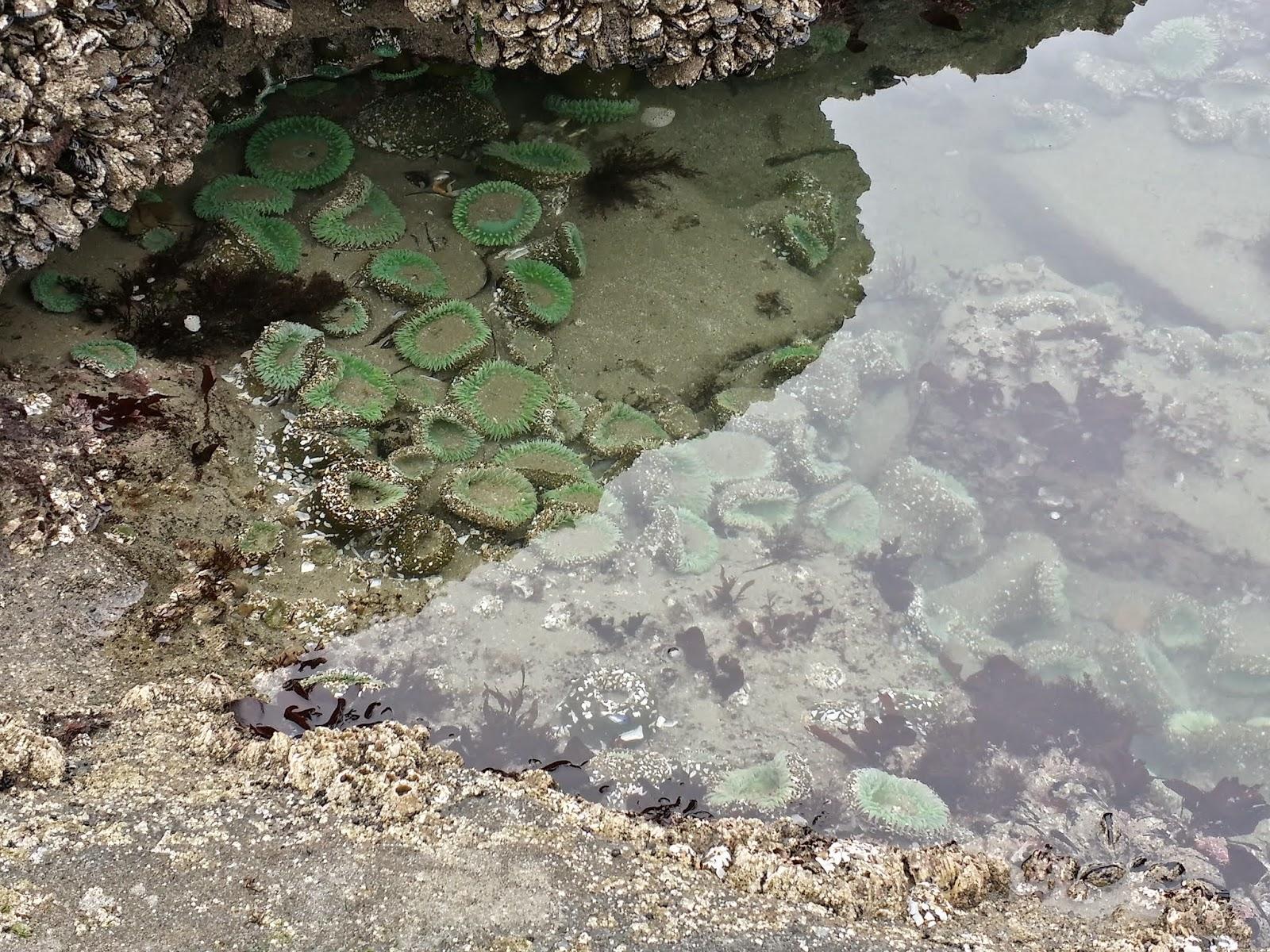 tide pool at Seal Rock