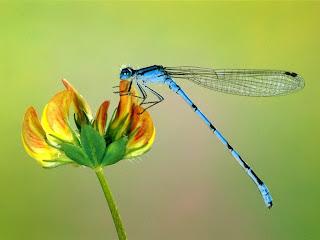 Dragonfly Wallpapers - Gambar Capung