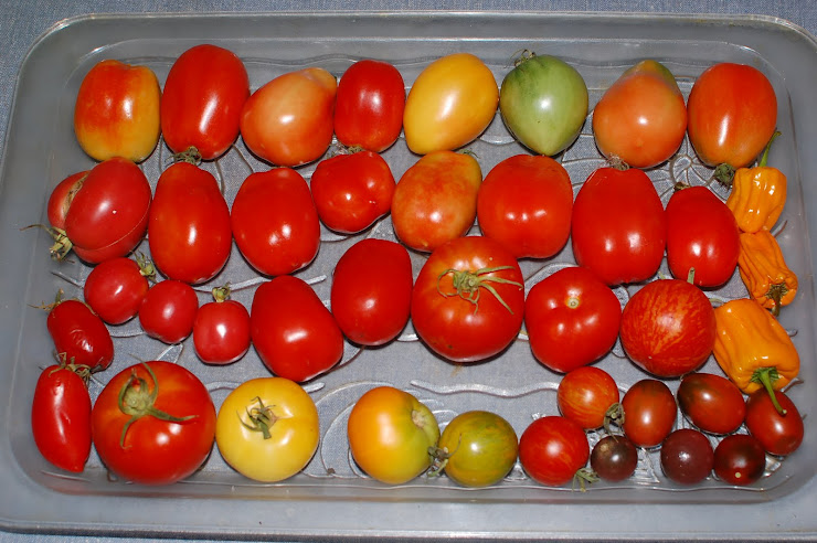 Abundance of Tomatoes