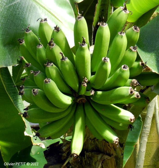 VILLERS-LES-NANCY (54) - Les serres du jardin botanique du Montet-Régime de bananes d'Asie