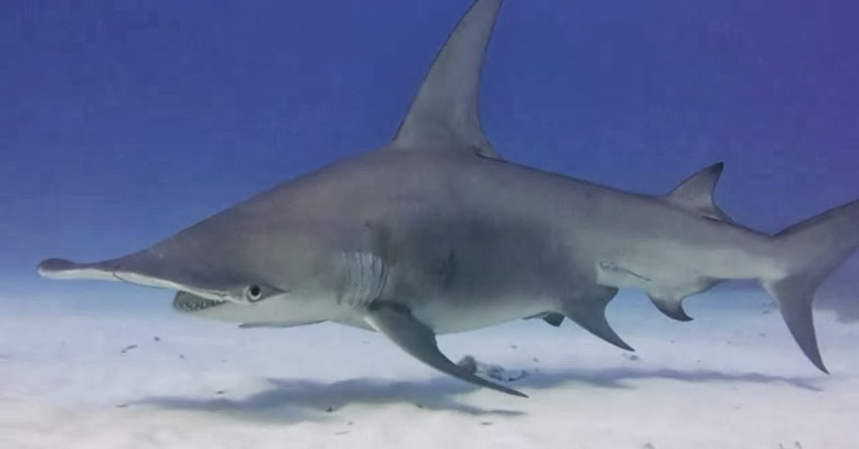 Great hammerhead shark attacks
