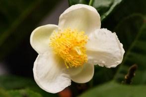 Bunga Camelia Putih