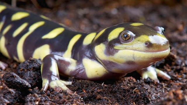 salamandra tigre mirando de forma tierna