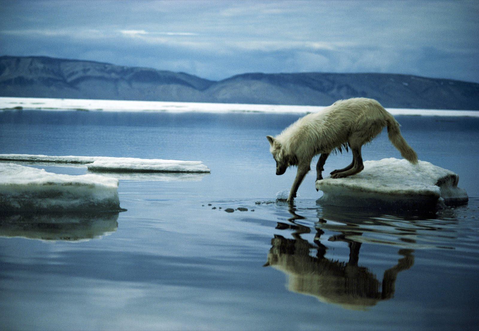 http://3.bp.blogspot.com/-H667t1D_GCA/UFjkKHn0_lI/AAAAAAAAOOw/s4m0FRQx8Bo/s1600/national_geographic_special_series_hq_desktop_wallpapers_masaustu_arkaplan_resimleri_arctic_wolf-other.jpg