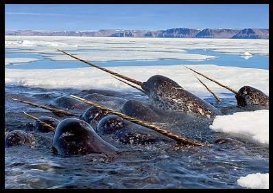 narval, narwal, monodon monoceros, pesca vikingos, colmillo narval, inuit, esquimal, Groenlandia, Greenland, vikingos, nórdicos, Erik, Thjodhilde, Leif, drakkar, Cálido medieval, Óptimo Cálido, Vinland, Markland, Helluland, vikingos América, pequeña era de hielo, Karlsefni, Leifbundir, patrologia latina, islendingabok, Thingeyre, Bergthorson, Saemundsson, Skraelings, Saqqaq, Lamb, CO2, cambio climático, tierra verde, Gardar, Brattahlid, Herjolfnes, Tasermiut, Hvalsey, Narsarsuaq, Snelland, Floki Vilgerdarson, Gunnjar Ulf-Krakason, Bardarson, Under the sand, Terranova, Dorset, Pangea, Mas alla de Pangea, colonizacion de Groenlandia, medieval