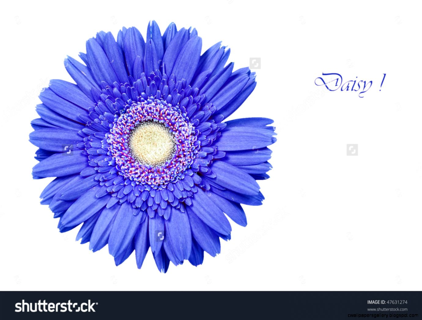 A Bright Blue Daisy Gerbera On A White Background With Space For
