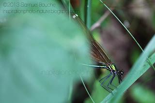 Macro insecte: libellule métallisée