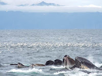 Whales feeding in Seward, Alaska