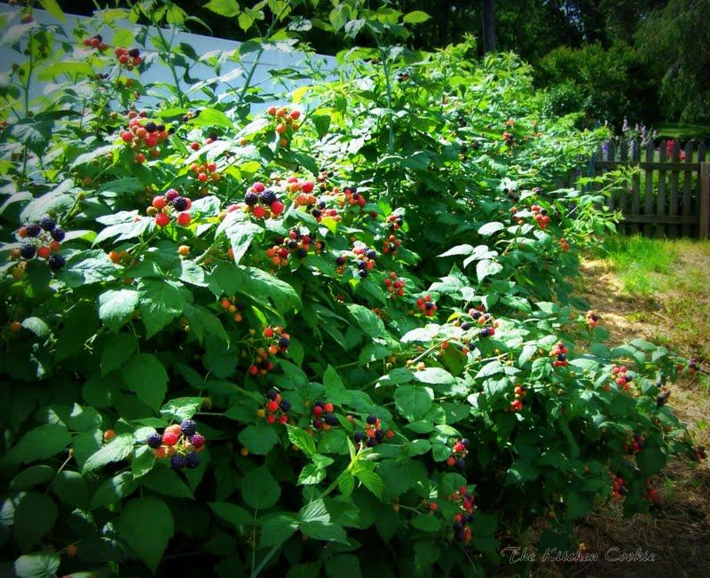 Плодовые кустарники которые сажают в тени 173