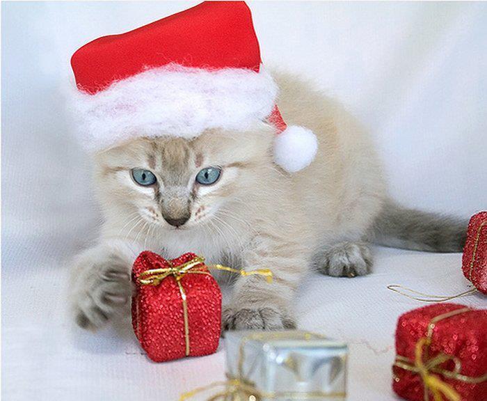 Images pour blogs et facebook images de chats en bonnets de no l - Image de chat de noel ...