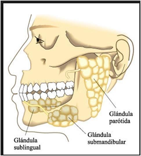 Los aumentos de la cabeza del miembro viril por el preparado g visc