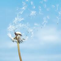 Imagen de una flor deshojandose por el viento